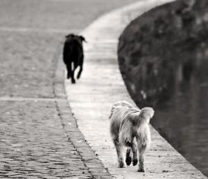 Cani randagi sul lungotevere romano