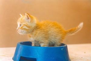Un tenero gattino alle prese con la sua prima ciotola