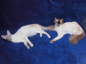 gatto balinese_foto
