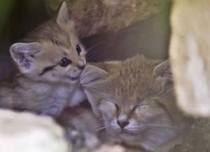 Il micino gioca a mordicchiare l'orecchio di mamma gatta