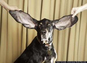 cane orecchie piu lunghe al mondo