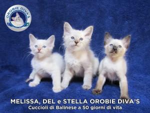 cuccioli_balinese_a_50giorni