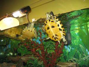 Come allestire un acquaterrario per la vostra tartaruga for Tartarughe per acquario