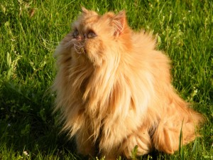gatto persiano_foto
