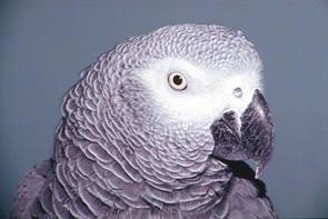 pappagallo cenerino_foto