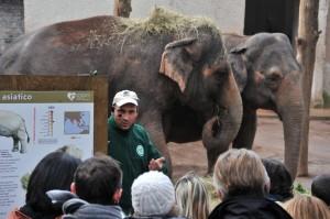L'esperto del Bioparco parla di elefanti