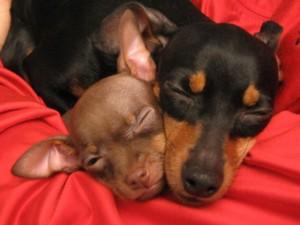 Che bei cuccioli di pincher su petpassion petpassion for Pincher cucciolo