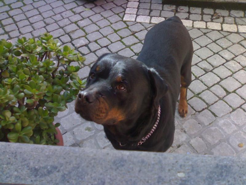 Un bellissimo Rottweiler