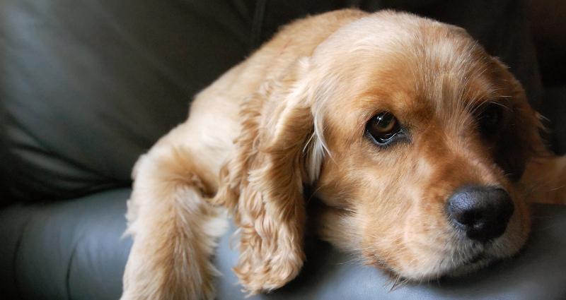 Cane di razza Cocker (foto: sxc.hu)