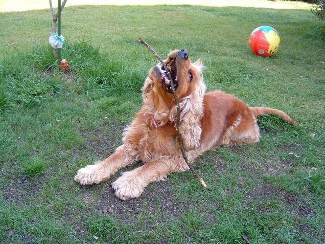 Annunci Cuccioli Di Carlino Da Adottare Gratuitamente