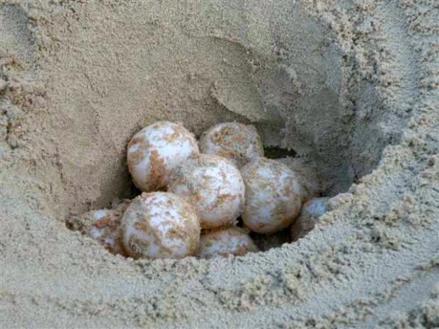 Uova di tartaruga nella riserva naturale dell 39 isola di for Incubazione uova tartaruga