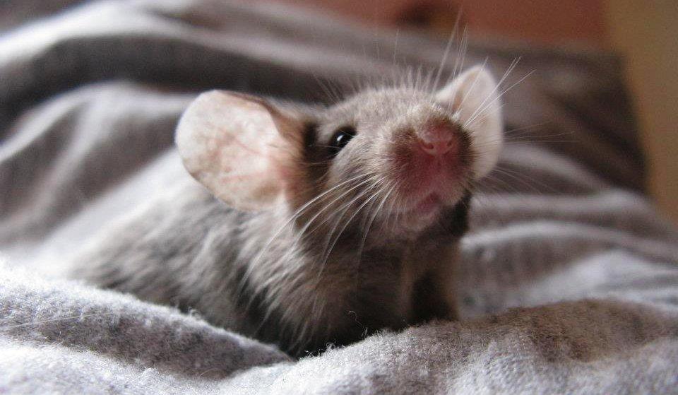 Passione roditori la ragazza che convive con 50 ratti - Come uccidere i topi in casa ...
