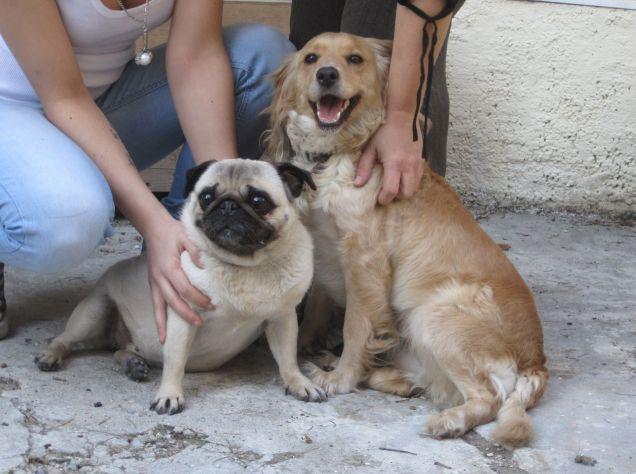 Regalo Cuccioli Di Carlino.Annunci Cuccioli Di Carlino Da Adottare Gratuitamente