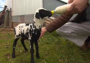 L'agnellino adottato da un dalmata