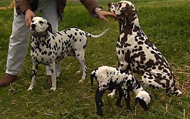 L 39 agnellino adottato da un dalmata - Colorazione immagine di un cane ...