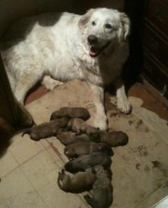 regalasi-cuccioli-incrocio-maremmano