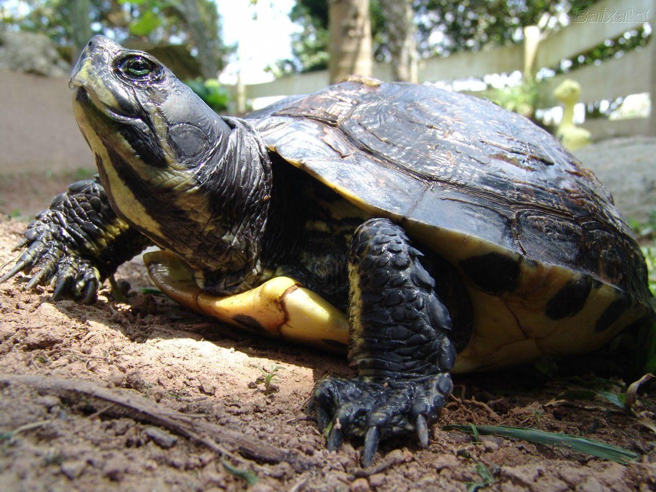 tartarughe terrestri comportamento con l 39 uomo e con i