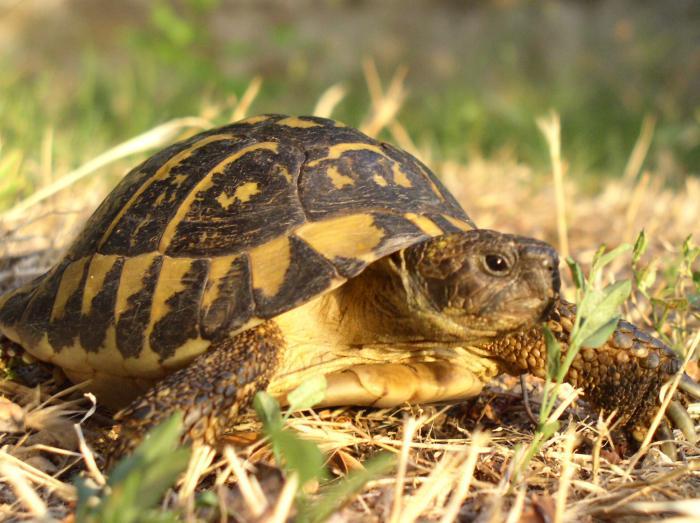 Testudo hermanni tartaruga comune for Terra per tartarughe di terra