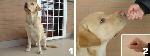 foto-cane-labrador-comando-terra-1