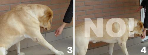 foto-cane-labrador-comando-terra-2