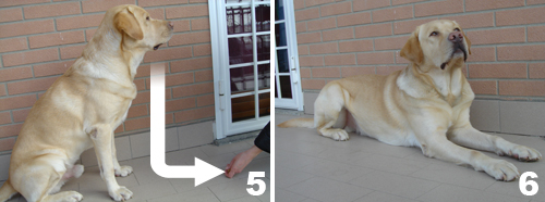 foto-cane-labrador-comando-terra-3