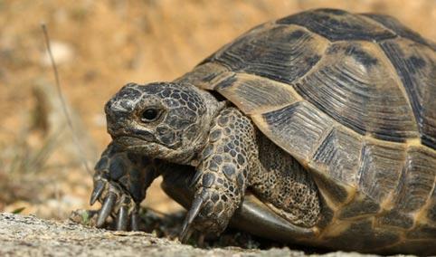 Animali e truffe il caso delle tartarughe terrestri for Tartarughe razze
