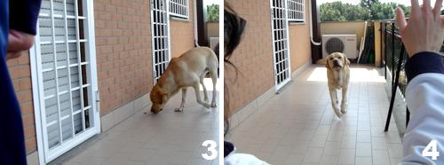 addestramento-labrador-insegnare-comando-vieni-2