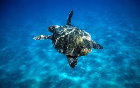 Esemplare di tartaruga Caretta Caretta