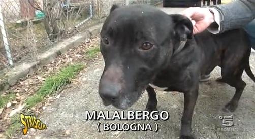 Birillo-pitbull-Striscia-la-notizia-malalbergo