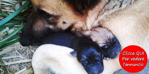 regalo-cuccioli-pastore-tedesco