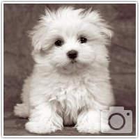 cani di razza: il maltese | petpion blog