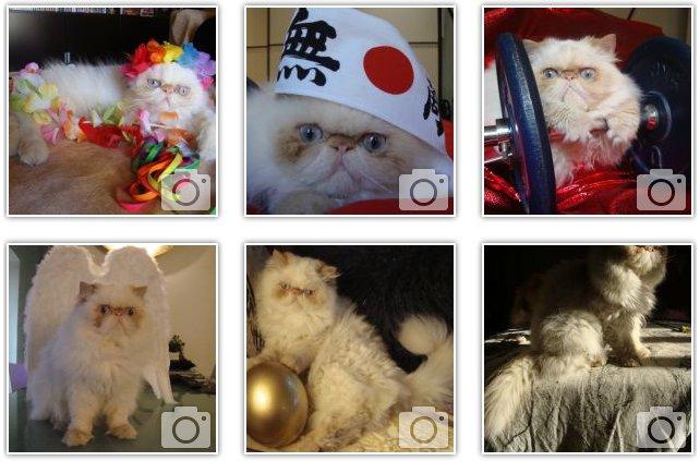 Foto gatto persiano