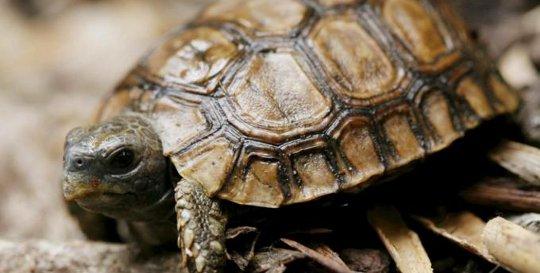 Guscio di tartaruga