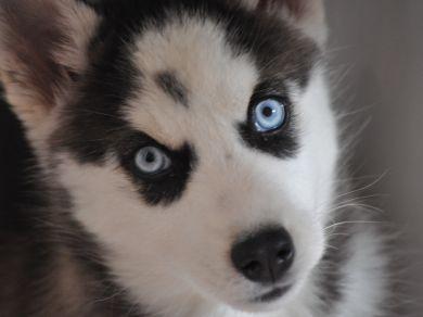 Il siberian husky un cane che scappa vero o falso - Husky con occhi diversi ...