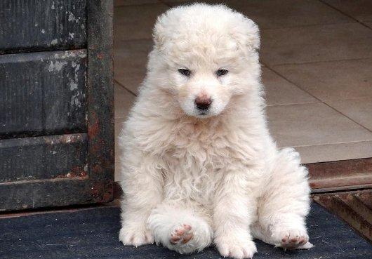 cucciolo-pastore-maremmano
