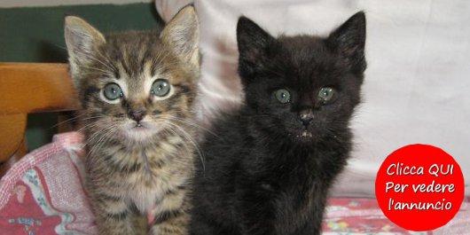 regalo cucciolo di gatto tigrato e nero