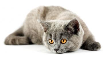 gatto-difese-immunitarie