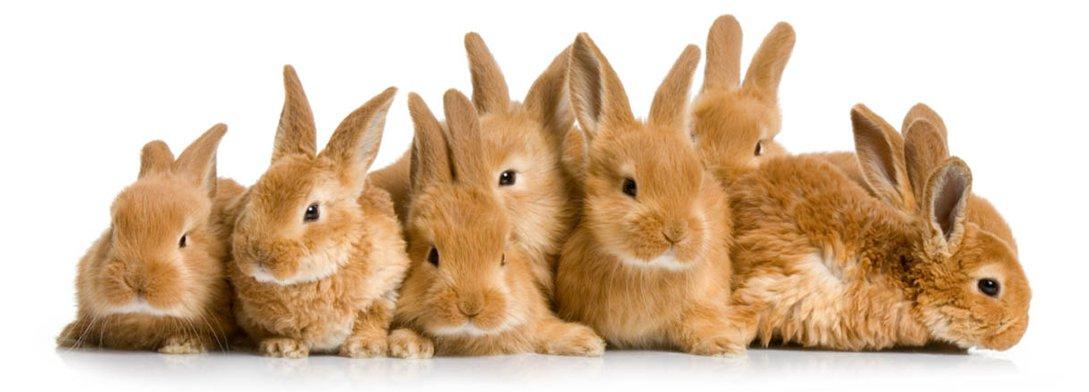 conigli-nani
