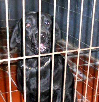 cane-labrador-adozione