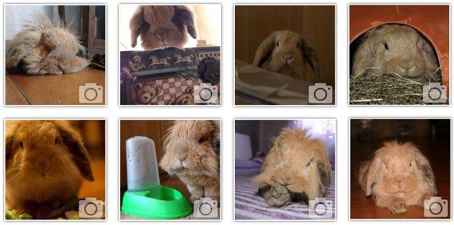 coniglio-nano-domestico