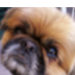 cani_razza_pechinese_community