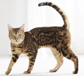 Curiosit sui gatti 7 cose da sapere parte ii for La coda del gatto
