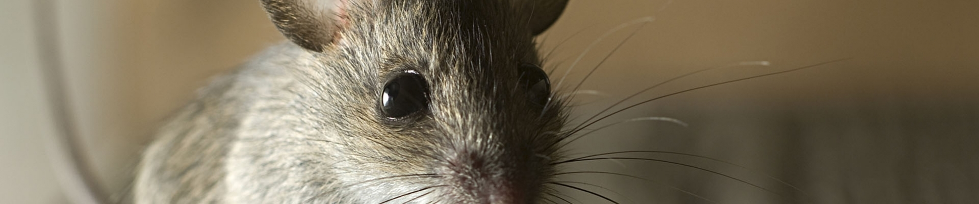 Mouse and Rat Control in Berkshire