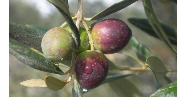 Az agr olivicola provenzano gioacchino