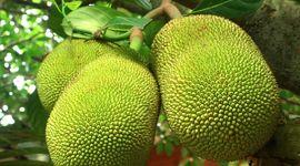 Proprietà e benefici del jackfruit