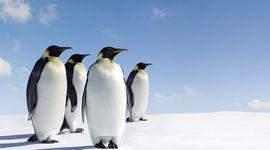 Pinguini in pericolo