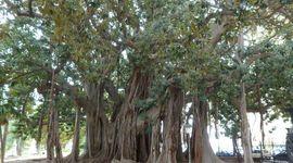 L'albero più grande d'Europa? Si trova in Sicilia!
