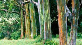 Rainbow Eucalipto: l'albero con i colori dell'arcobaleno