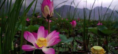 Thailandia: senza fertilizzanti tornano i fiori di loto