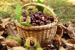 L'attività autunnale per eccellenza: raccogliere le castagne